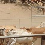 Australia pun meradaaang,… quota sapi import anjloook drastis… jangan main-main dengan market Indonesia …???